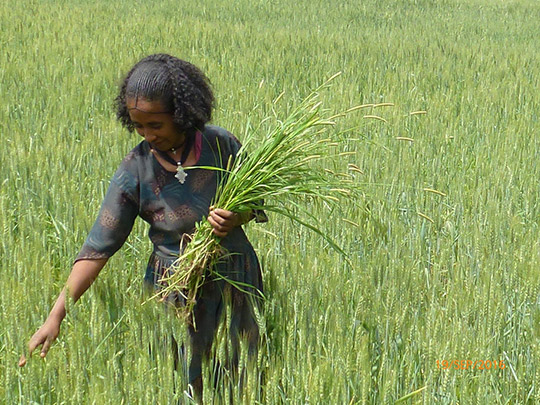 Farmer Wezam Gidey, Ethiopia.jpg. with caption: Visit Climate Learning Platform at www.climatelearningplatform.org