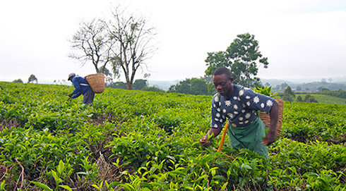 Asaba Moses picking tea on a farm in Uganda
